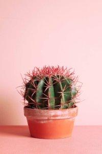 Так выглядит здоровый кактус