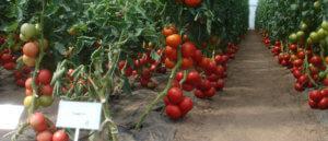 Плантация томатов