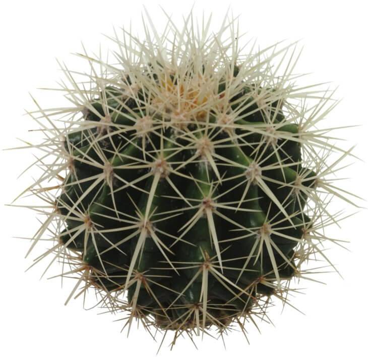 Кактусы могут выращивать все