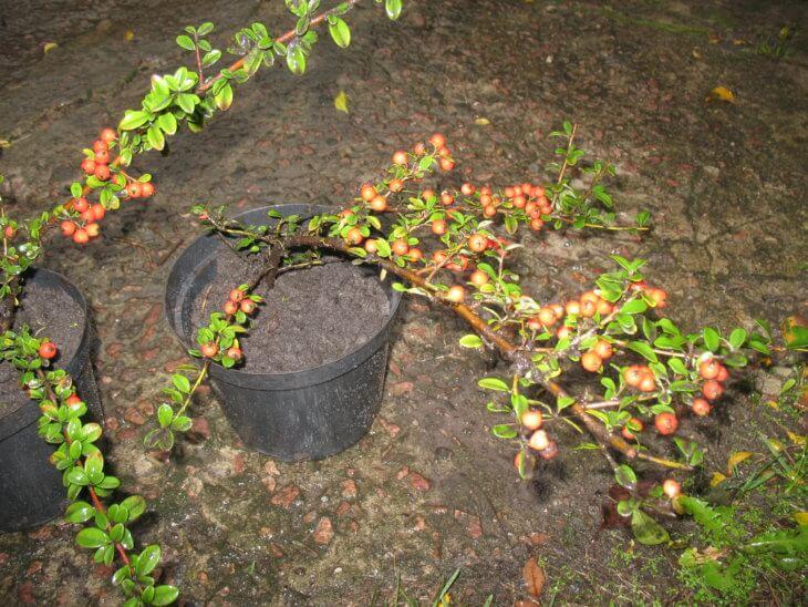 Выращивание кизильника в горшке
