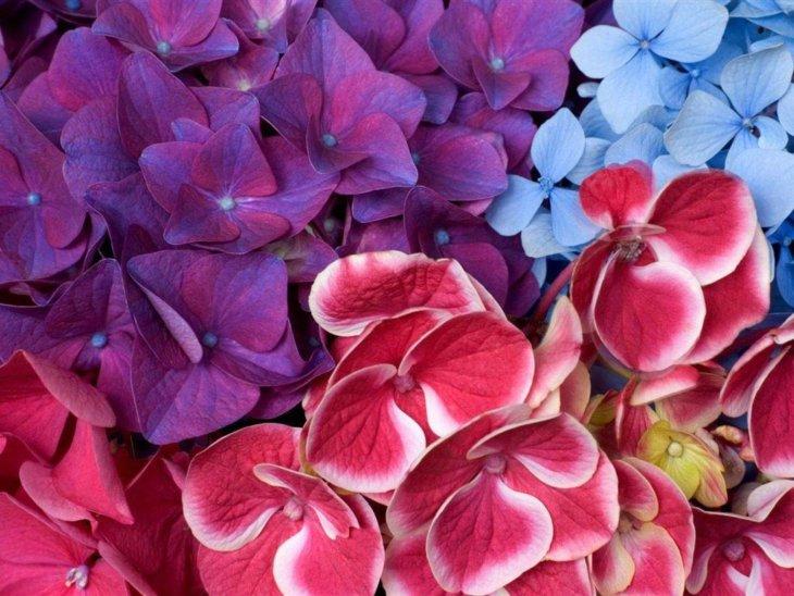 Разные виды цветения гортензии