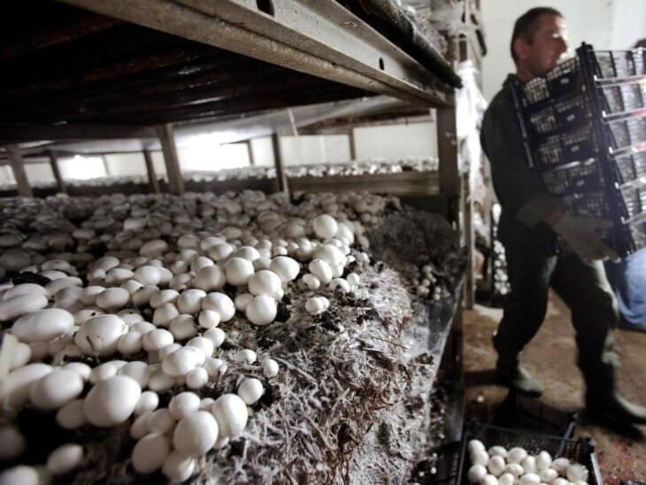 Сбор урожая грибов