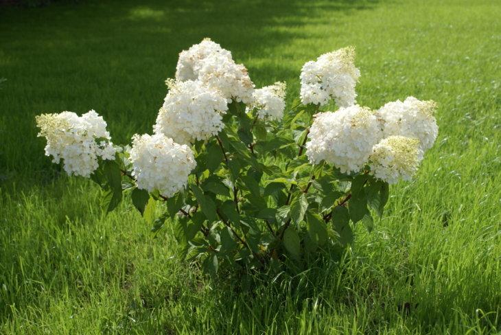 Белая гортензия прекрасна