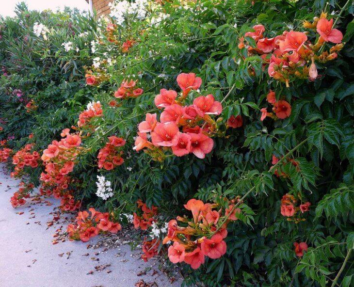 Пышное цветение кампсиса в саду