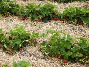 Поспевание ягод клубники на грядке