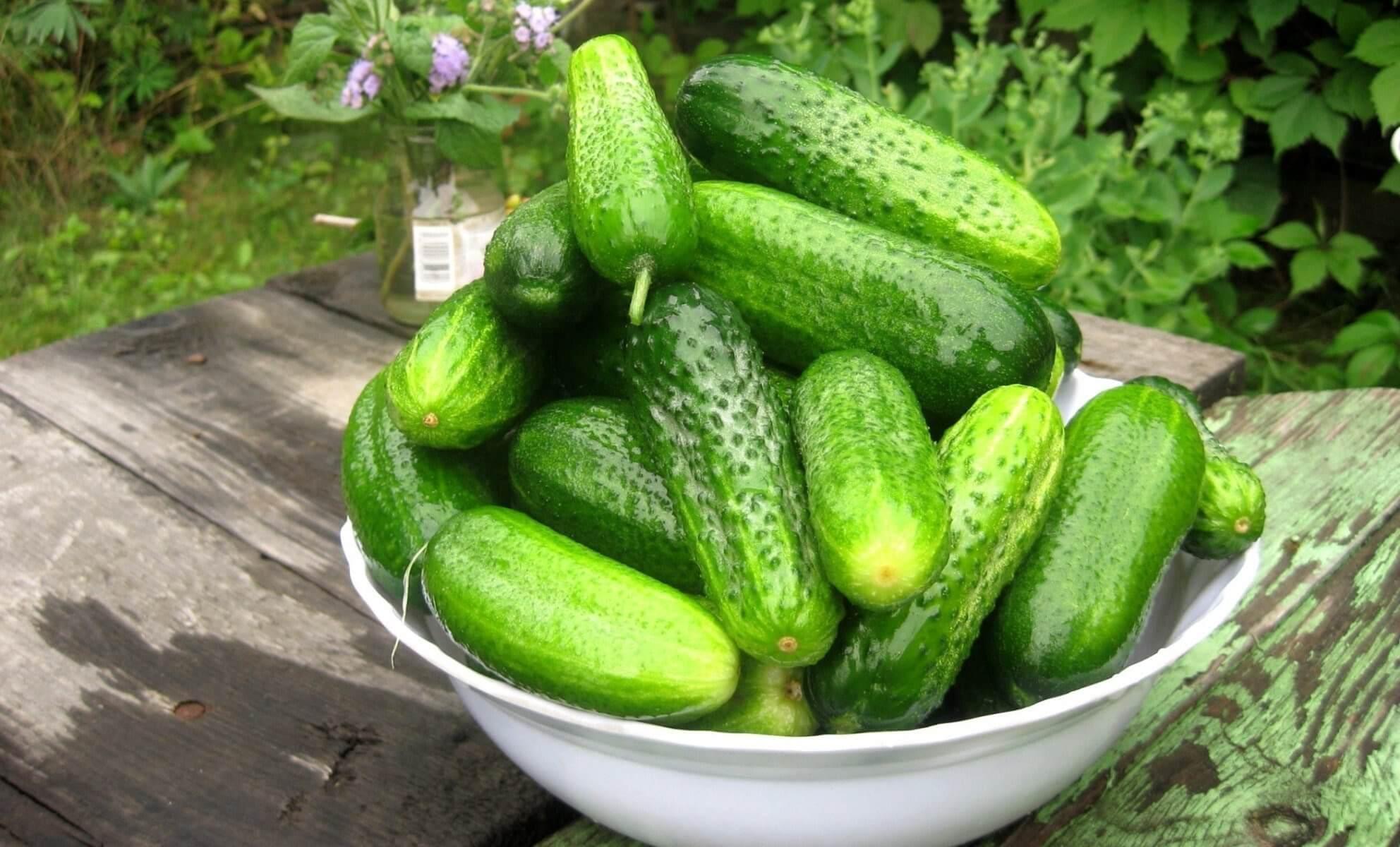 Поздние сорта огурцов для теплицы и для выращивания на открытом грунте