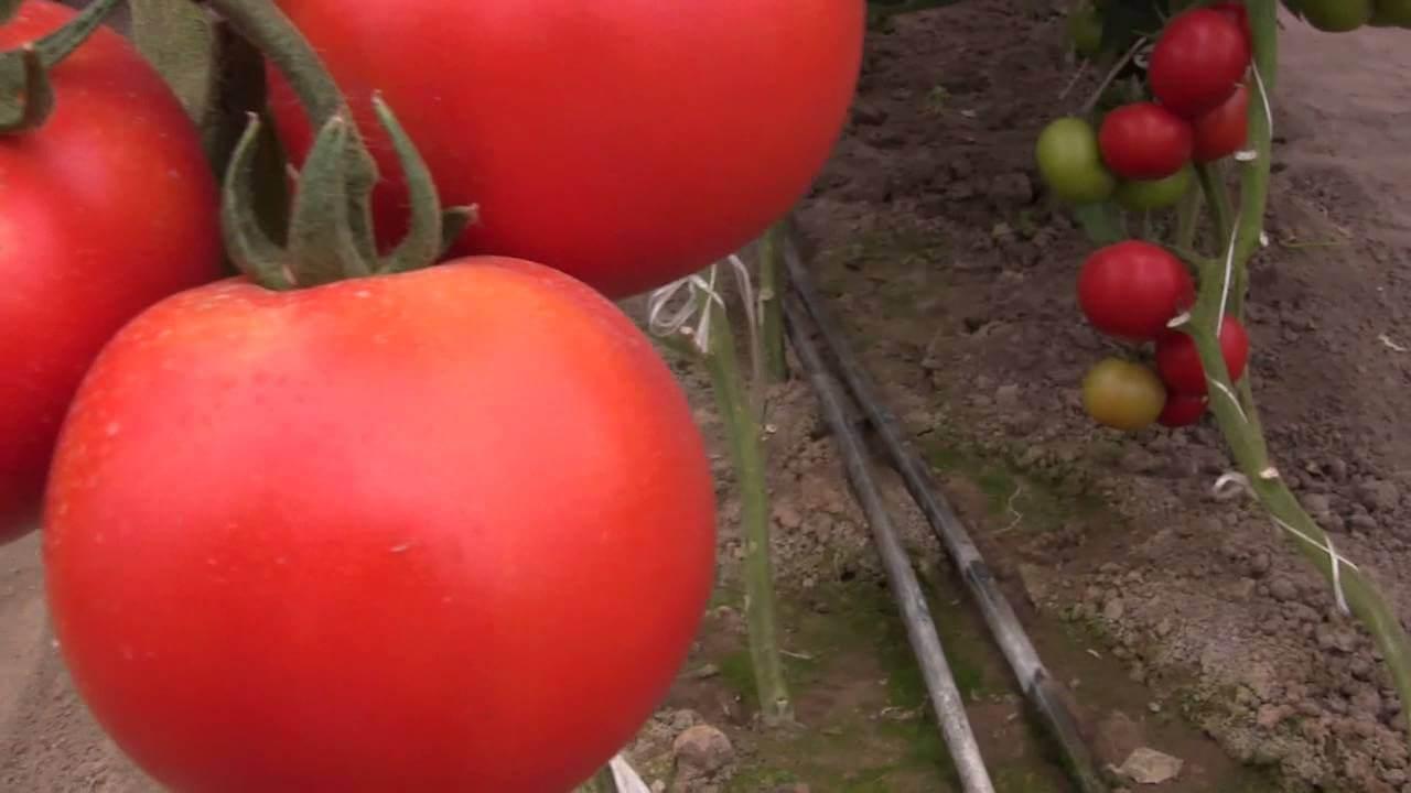 Отзывы о томате ралли f1: обработка и уход за растениями