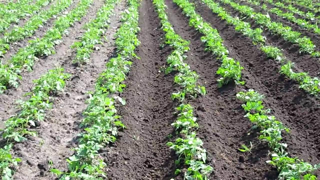 «Винета» сорт картофеля: легкий способ собрать ранний урожай