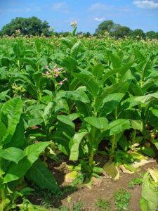 Табак, выращенный в поле