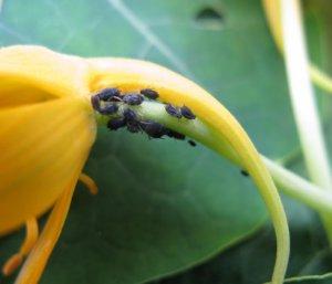 Пораженное растение