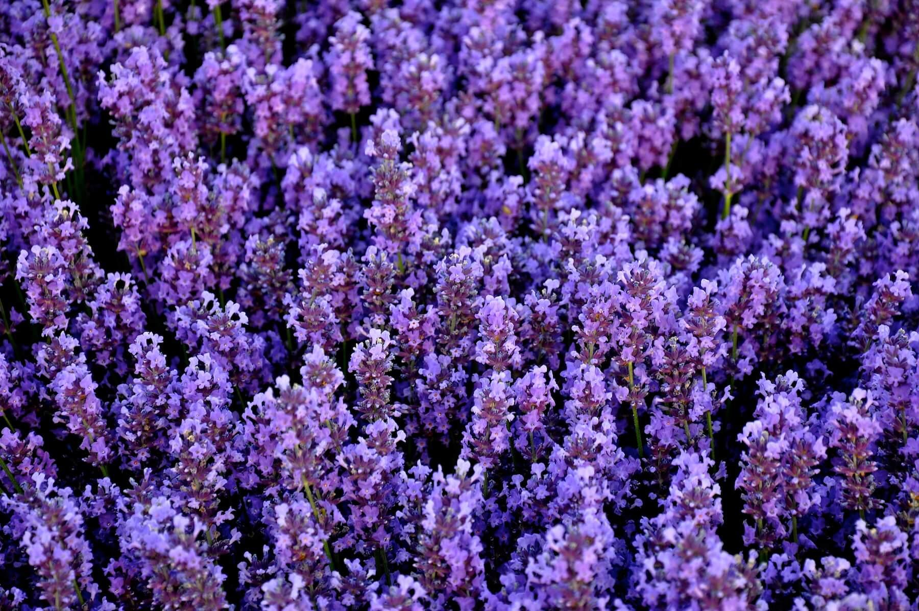 Виды лаванды: описание растений, методы стратификации и выращивания