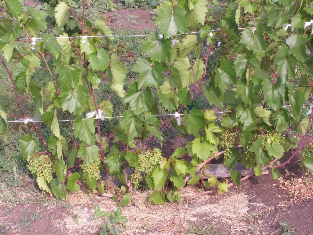 Как формировать виноградный куст: что об этом нужно знать садоводу