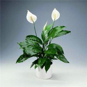 Как вырастить домашний цветок спатифиллум