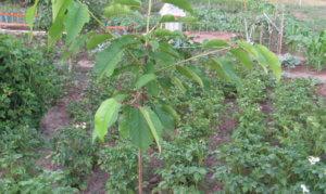 Молодое деревце черешни