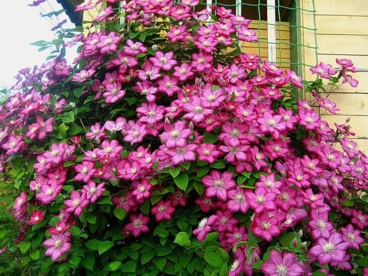 Украшение крылечка цветущим клематисом