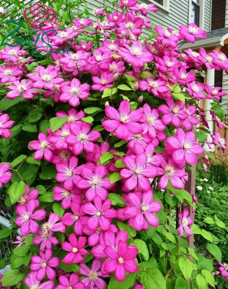 Клематис Виль Де Лион: описание чудесного растения