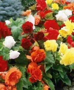 Украшение цветника бегонией