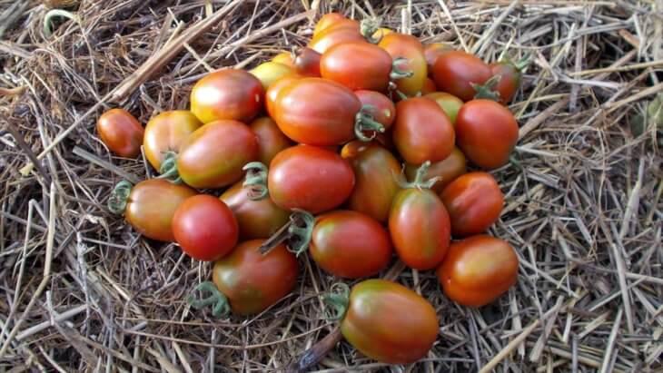Отличный урожай томатов Де Барао