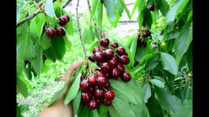 Урожайность черешни в саду