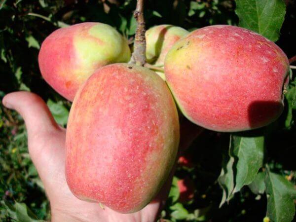 Поспевание яблок на дереве