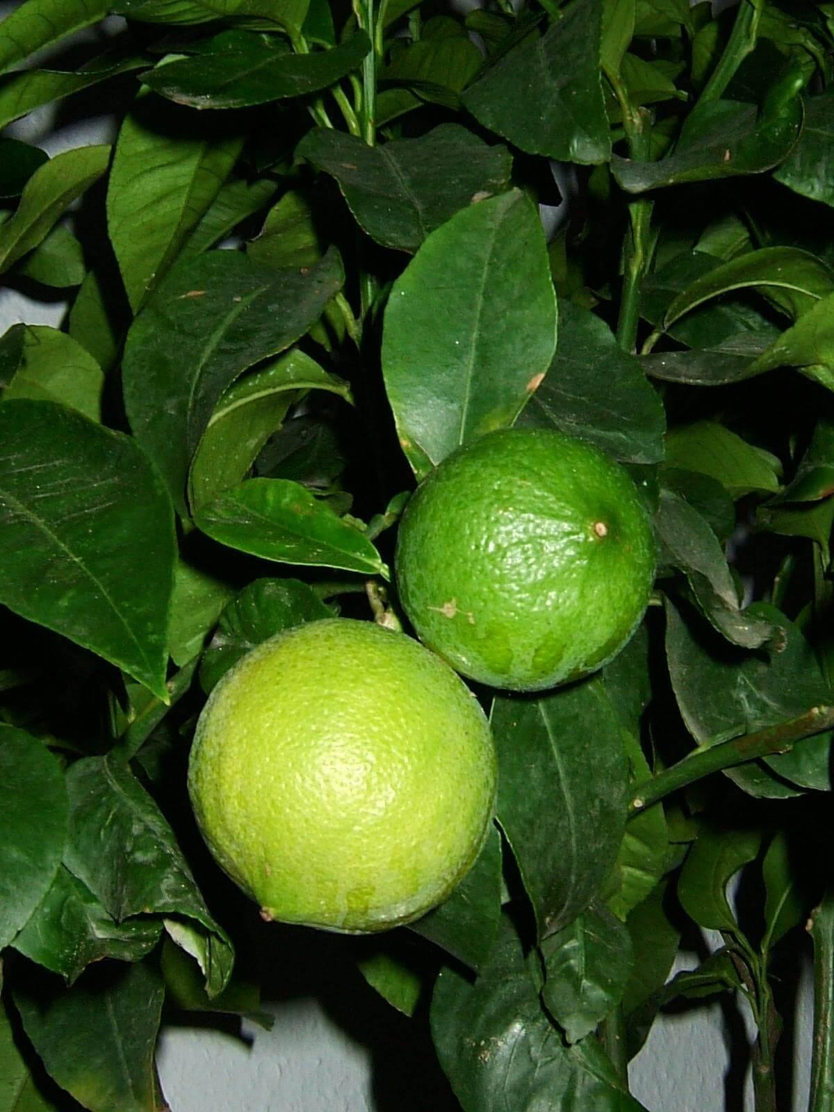 Компаньоны вкуса бергамот и монарда-бергамот: что это за растения