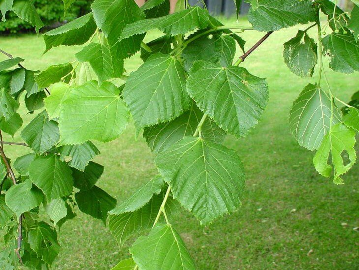 Листочки липы в саду