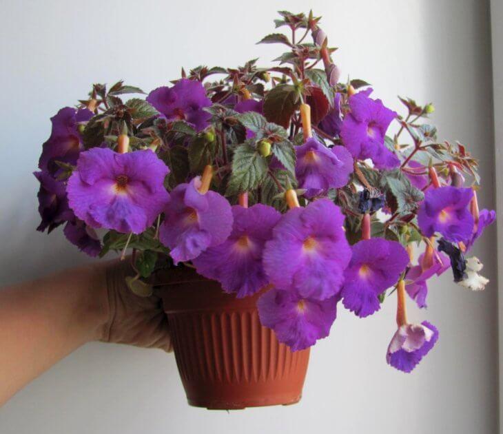 Домашнее выращивание ахименеса