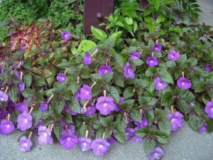 Один из видов цветения ахименеса