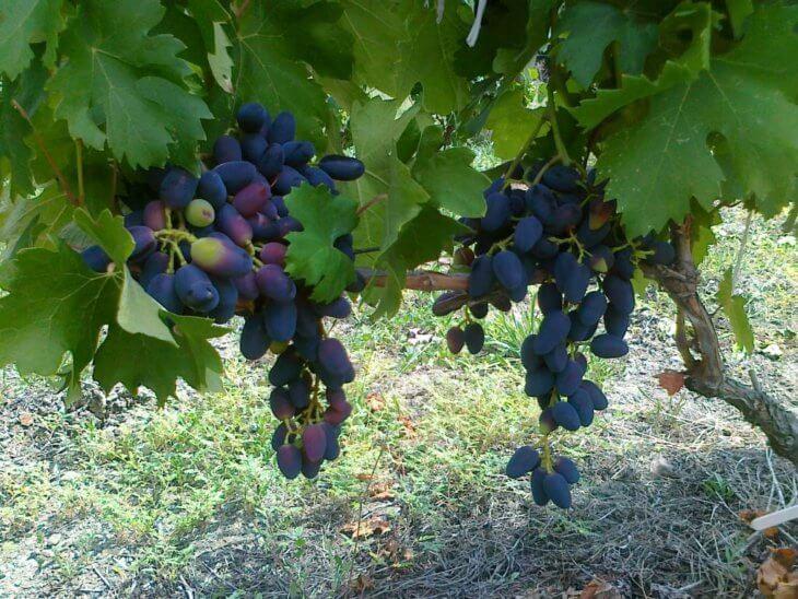 Созревание винограда в саду
