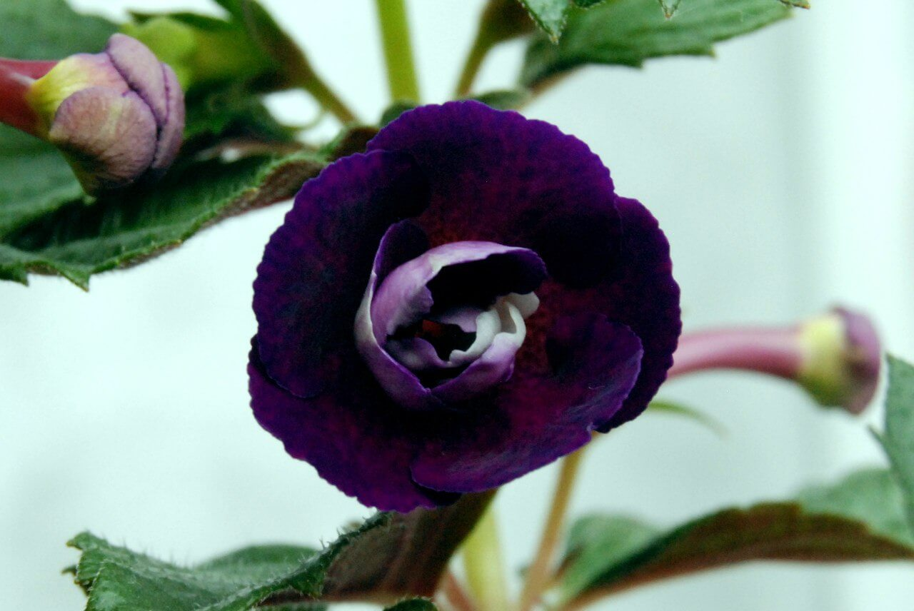 Ахименес genesis: описание сорта и основные правила выращивания