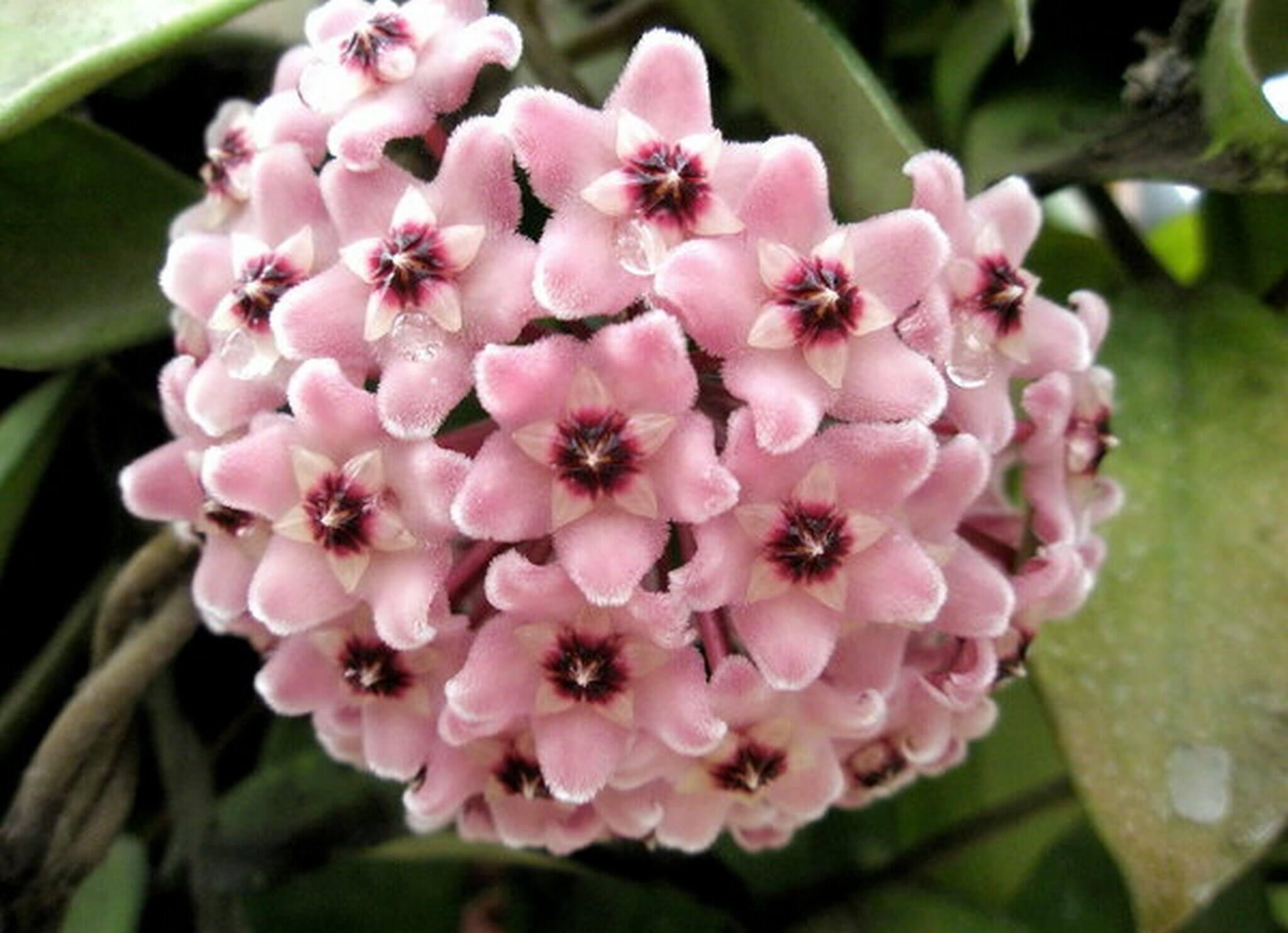 Необыкновенный цветок хойя: описание, размножение и уход