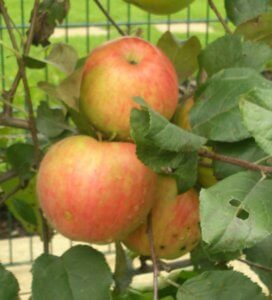 Яблоки, которые готовы для сбора