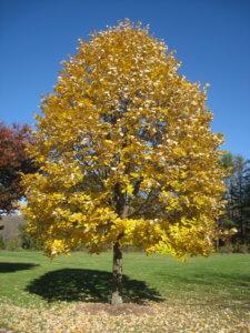 Осенняя липа