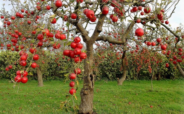 Позднее созревание яблок