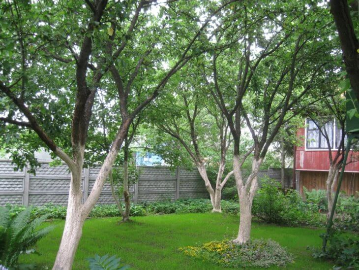 Так выглядят побеленные деревья в саду