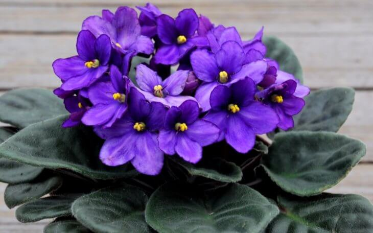 Цветение фиалки в домашних условиях