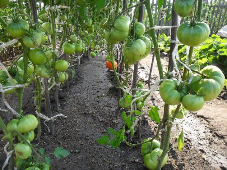 Отличные посадки томатов у себя в огороде