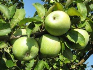Здоровые плоды на дереве