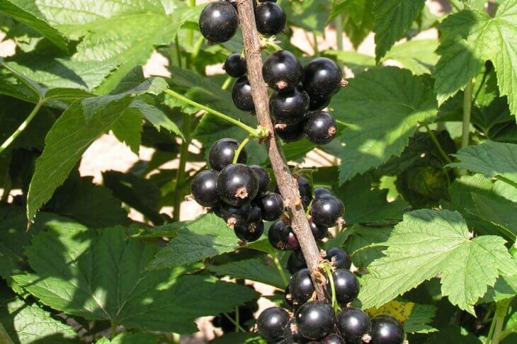 Лат. Ribes nigrum