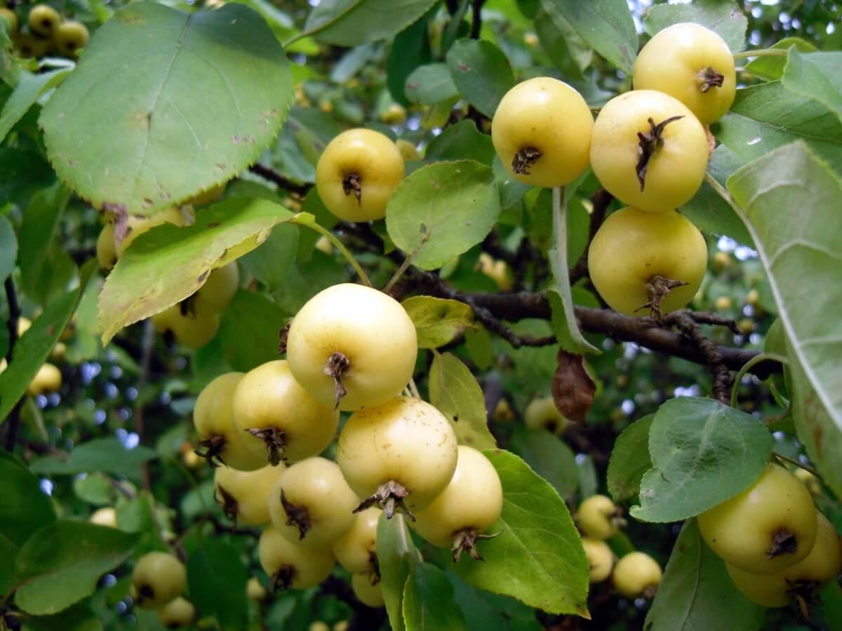 Яблоня Банановое: ботаническое описание сорта, условия выращивания культуры