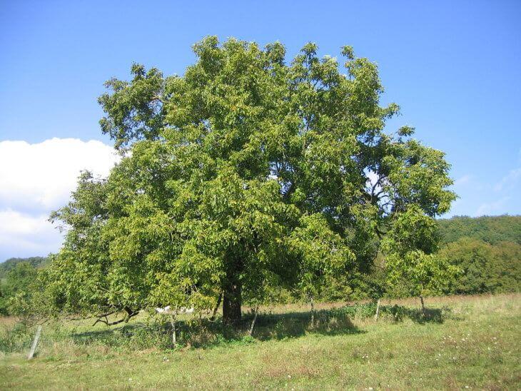 Дикорастущие дерево грецкого ореха