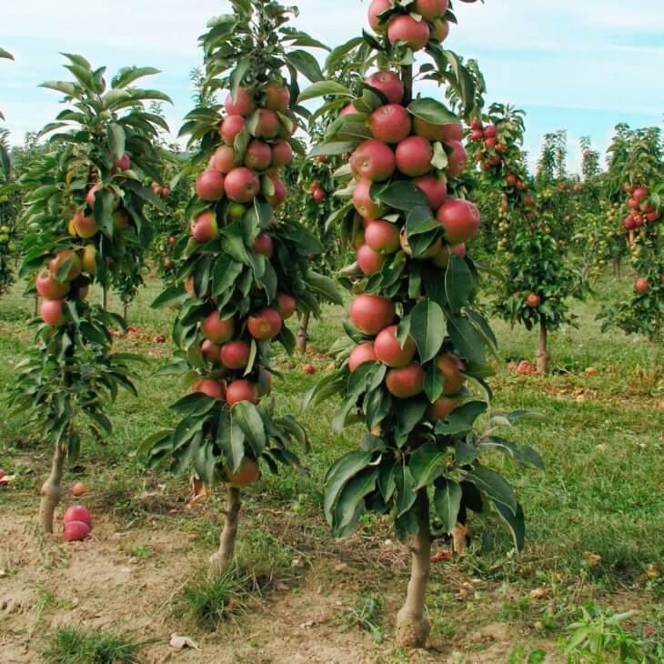 Вид низкорослых яблонь, выращенных в саду