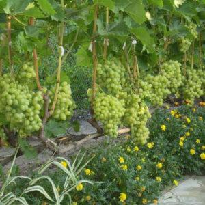 Виноград московский белый: описание сорта, особенности ухода