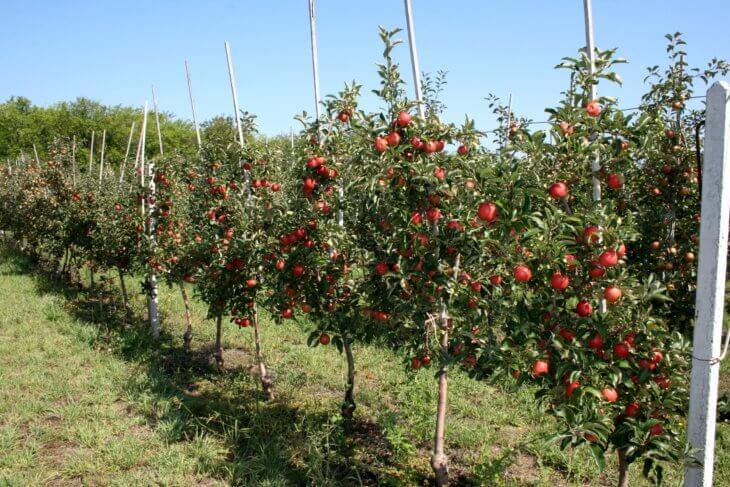 Низкорослая яблоня имеет высоту около двух метров