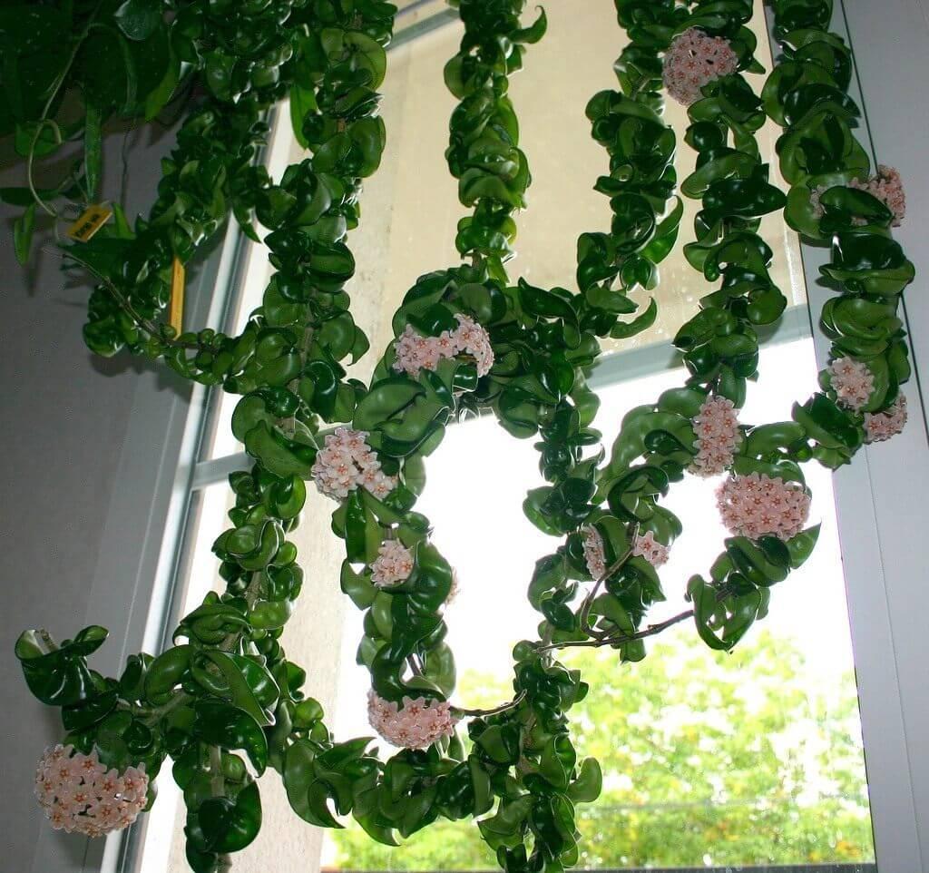 Хойя - уход за цветком, виды и требуемые условия для выращивания