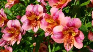 Цветение альстромерии