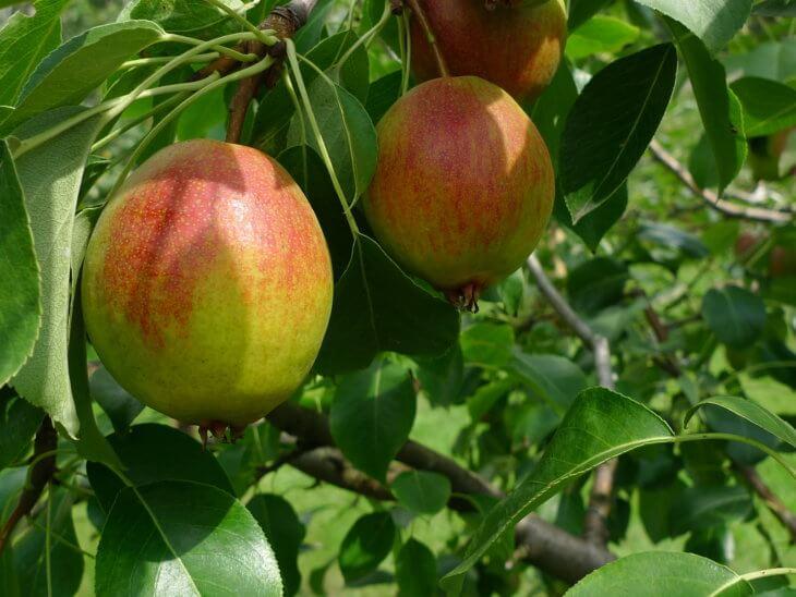 Спелый урожай груши