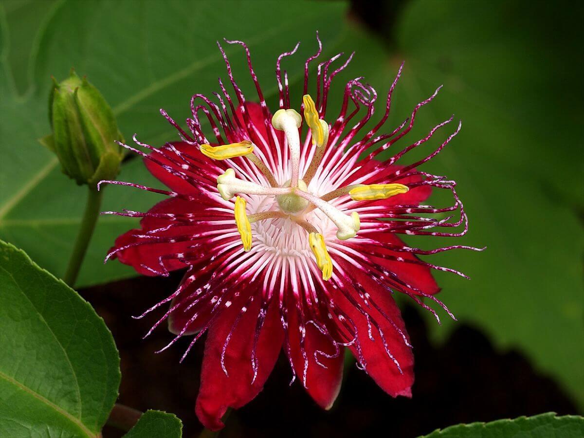 Что такое экзотическая пассифлора: основные характеристики