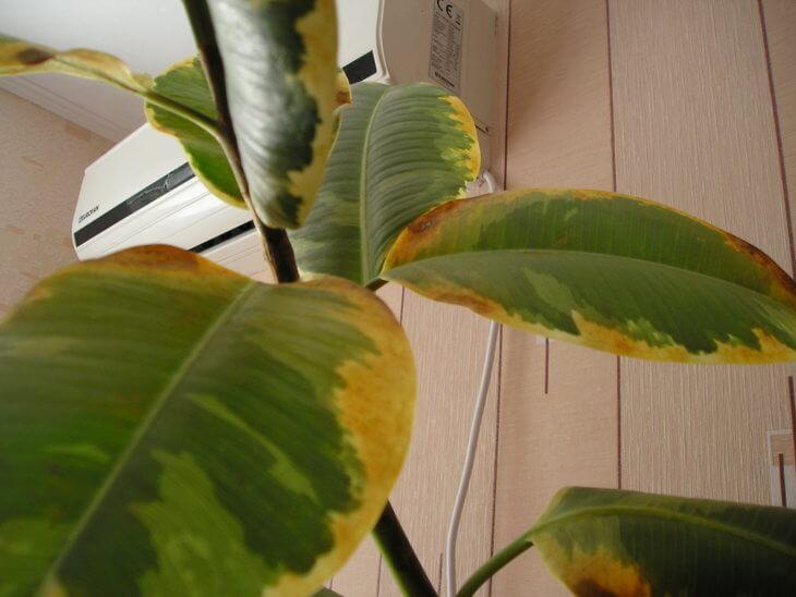 Пожелтевшие кончики листиков