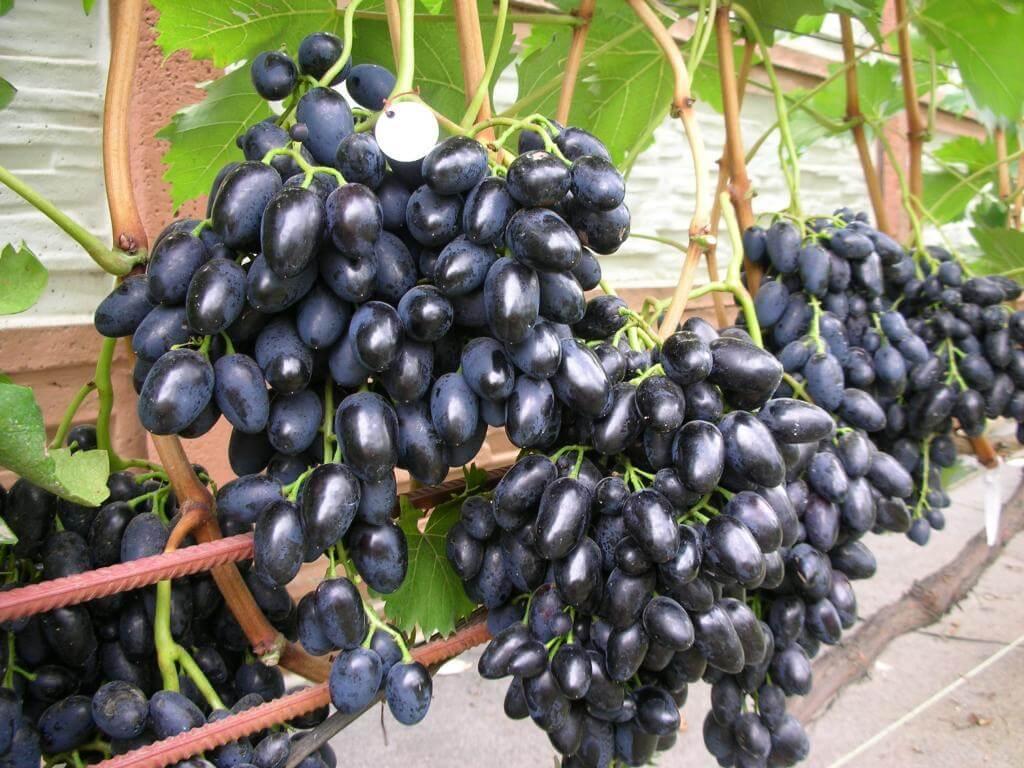 Надежда Азос: описание сорта винограда, характеристики